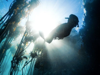 Diver swims through kelp forest in False bay. The photo is taken from underneath, with the light shining through the surface.